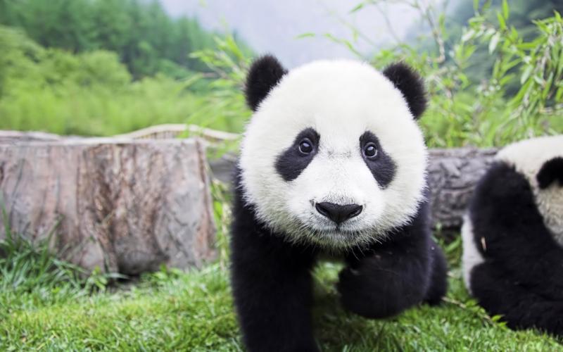 images/panda1.jpg