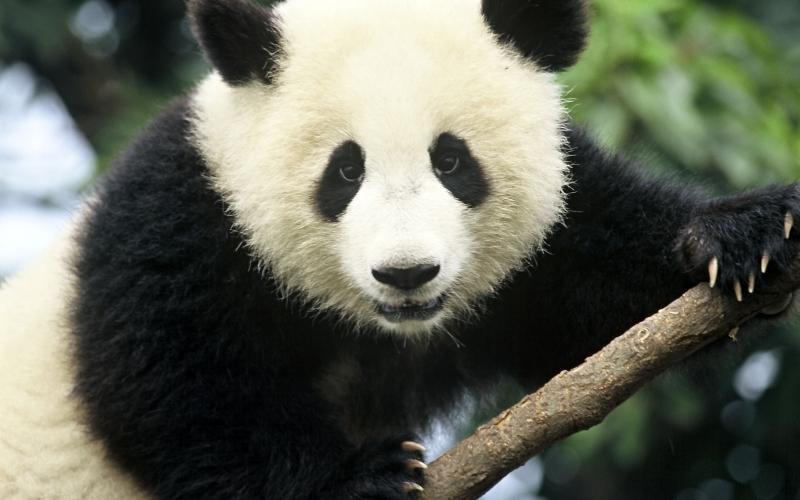 images/panda2.jpg